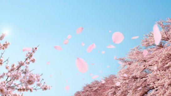 690669862-fluttuare-nellaria-gruppe-di-alberi-sakura-ciliegio